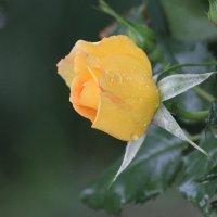 Роза после дождя :: Cain Amberskii
