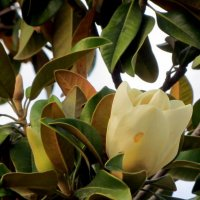 Цветок магнолии :: Герович Лилия