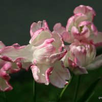 цветочные истории-тюльпаны :: Олег Лукьянов
