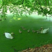 Лесное озеро. Лебеди и лебедята (подросли немного) :: Nina Yudicheva