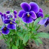 Цветики-цветочки :: Павлова Татьяна Павлова