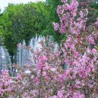 Цветущая сакура на фоне фонтана :: Сергей Тагиров