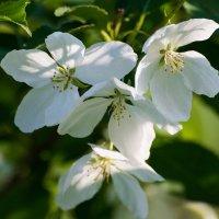 Яблоня цветет :: Александр Маркелов