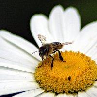 пчелка на ромашке :: Александр Корчемный