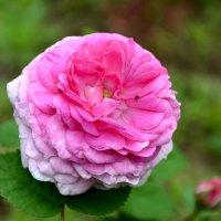 Про розы... :: Михаил Болдырев