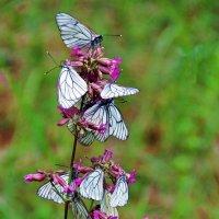 Цветов пленительный нектар... :: Лесо-Вед (Баранов)