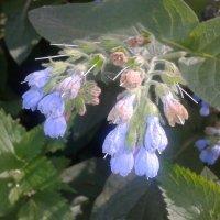 Цветок :: Сапсан