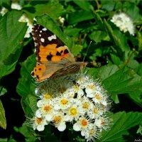 Мир бабочек :: °•●Елена●•° Аникина♀