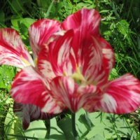Тюльпан полосатый :: Дмитрий Никитин