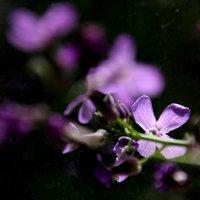 цветы редьки :: Валерия  Полещикова