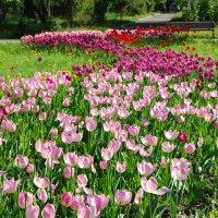 Дорожка из тюльпанов :: НАТАЛИ natali-t8