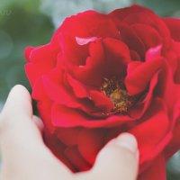 Роза :: Любовь Якимчук