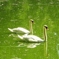 Лебединая пара на озере :: Маргарита Батырева