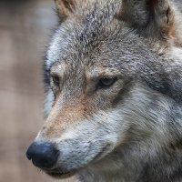 Серый волк :: Владимир Габов