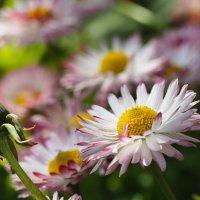 Красота простых цветов :: Ayse 1