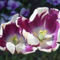 Последние тюльпаны :: Марина Ильина