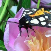 butterfly :: Ирина Тесцова