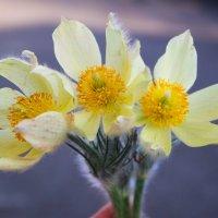 Весенний цветок :: Валентина Захаренко