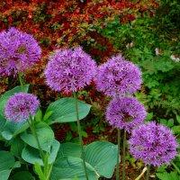 Цветы-шары лука декоративного :: Nina Yudicheva