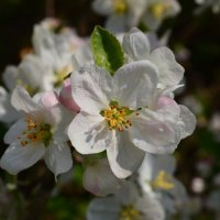Цветение яблони :: Екатерина