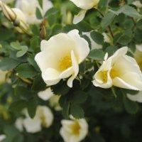 У розы шипы :: Семья Фоменковых