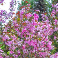 Цветение сакуры :: Сергей Тагиров