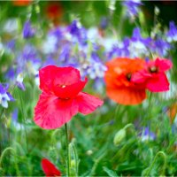 poppies-6 :: yameug _