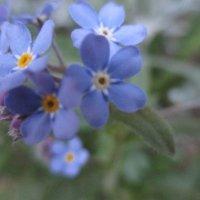 Голубая нежность... :: Valentina