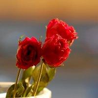 Розы. :: Олег Чернышев
