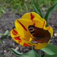 Тюльпан и бабочка. :: zoja
