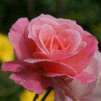 Роза :: Larisa Freimane