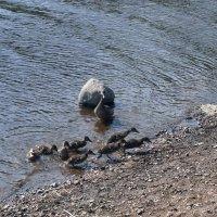 Утята. :: сергей лебедев