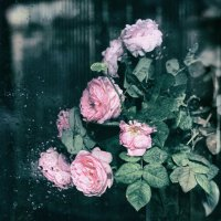 Розы :: Ирина Сивовол