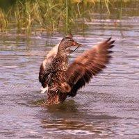 Сядьте в воду, три. четыре, клюв  повыше, крылья шире :: Татьяна Ломтева