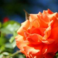 мои розы :: Cветлана Свистунова