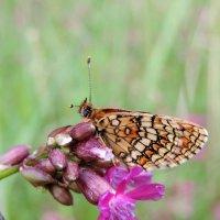 Застенчивая бабочка :: Елена Якушина