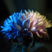 хризантема в ночи :: Evgeny