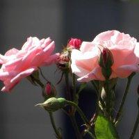 О,роза дивная моя! :: Наталья Джикидзе (Берёзина)