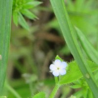 Диаметр цветка, порядка 2.5 мм. :: Вячеслав Медведев
