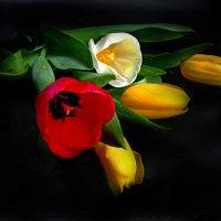 Тюльпаны на черном :: Сергей Карачин