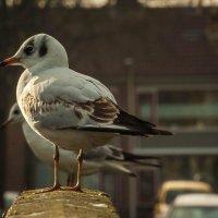 Чайки :: Светлана Щербакова