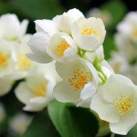 Сладчайший аромат жасмина. :: Валентина ツ ღ✿ღ