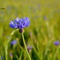 Синий полевой цветок.. :: Юрий Анипов