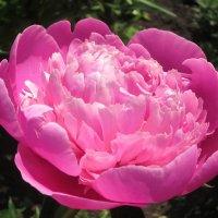 розовое утро :: Надежда