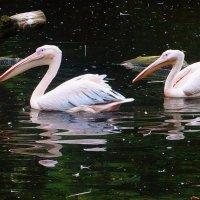 Пеликаны :: Nina Yudicheva