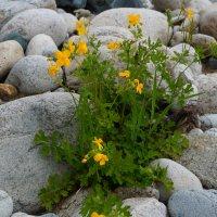и на камнях растут цветы... :: Alexandr Staroverov