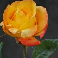 Тепло июньской розы... :: Тамара (st.tamara)