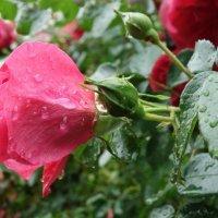 Ах эти розы... :: Galina Dzubina