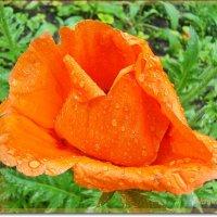 Яркий и нежный мак под дождем :: Лидия (naum.lidiya)