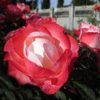О роза! Королева сада! :: Наталья Джикидзе (Берёзина)